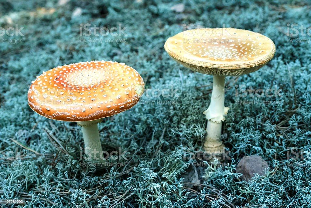 Fly Agaric Mushrooms royalty-free stock photo