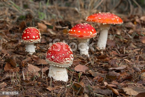 Group of red Fly Agaric Mushrooms with white spots growing in the forest. Macro image with shallow depth of field.