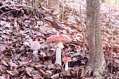 Fly agaric or fly amanita (Amanita Muscaria) inedible mushroom in autumn, among the leaves of a forest. Three stages or phases of mushroom growth. Mushroom with hallucinogenic properties