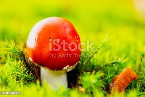 Fly agaric or fly amanita on moss covered forest floor during a beautiful fall day in Overijssel, The Netherlands.