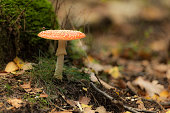 Fly agaric or fly amanita red mushruum with white dots on leaves covered forest floor during a beautiful fall