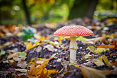 A white spotted red mushroom in a forest. The ground is covered with autumn leaves.