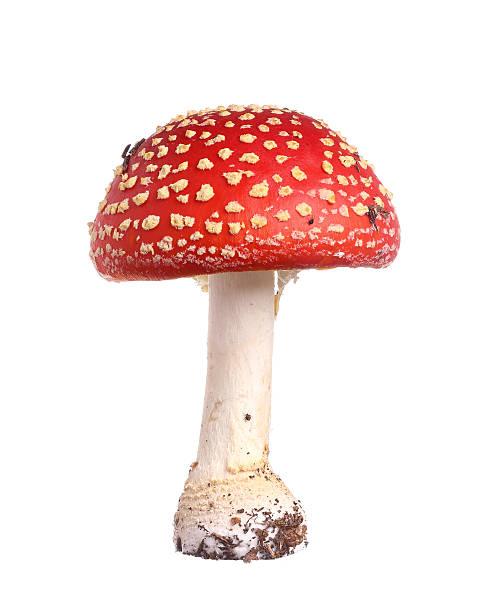 agárico - cogumelos imagens e fotografias de stock