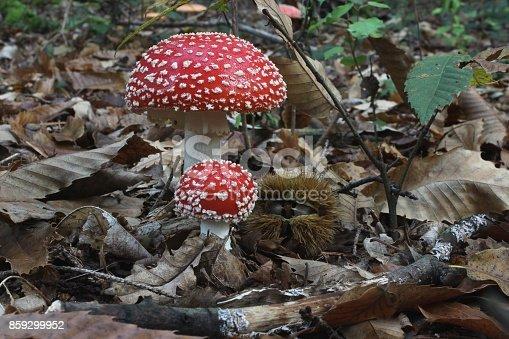 fly agaric mushroom on the forest floor