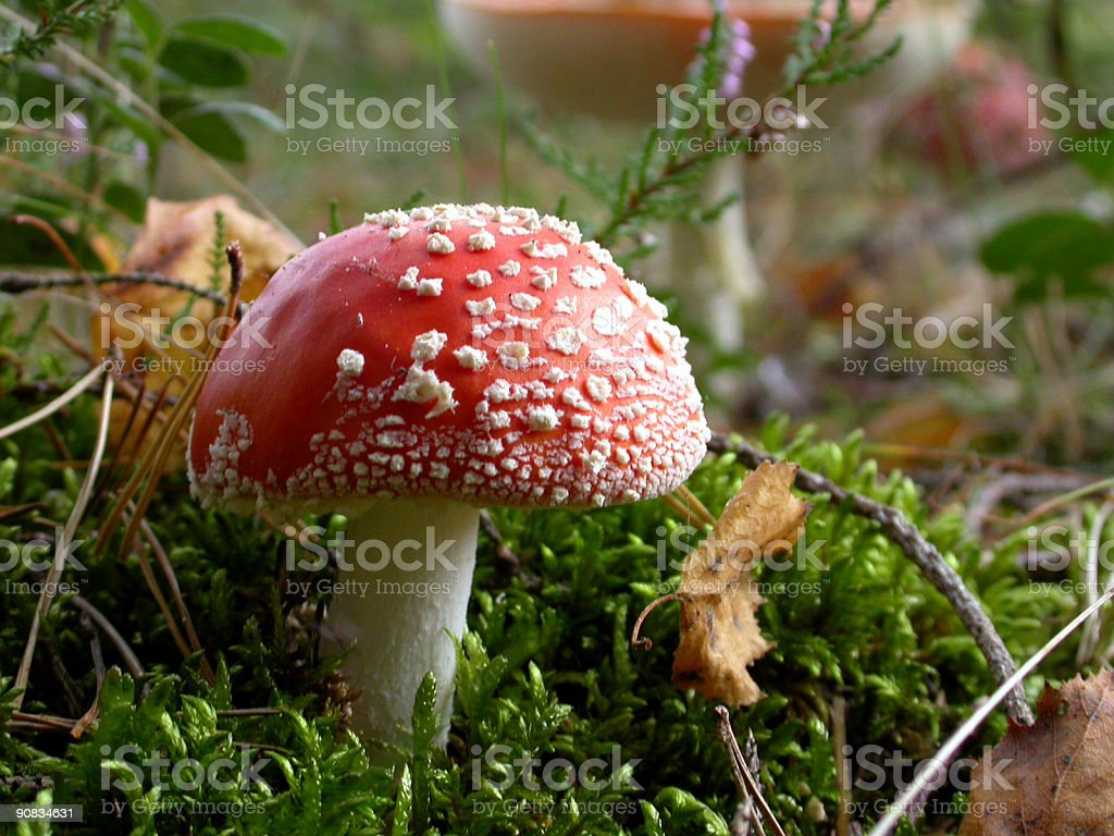 Fly Agaric royalty-free stock photo