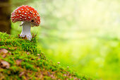 Fly Agaric, red and white poisonous mushroom in the forest