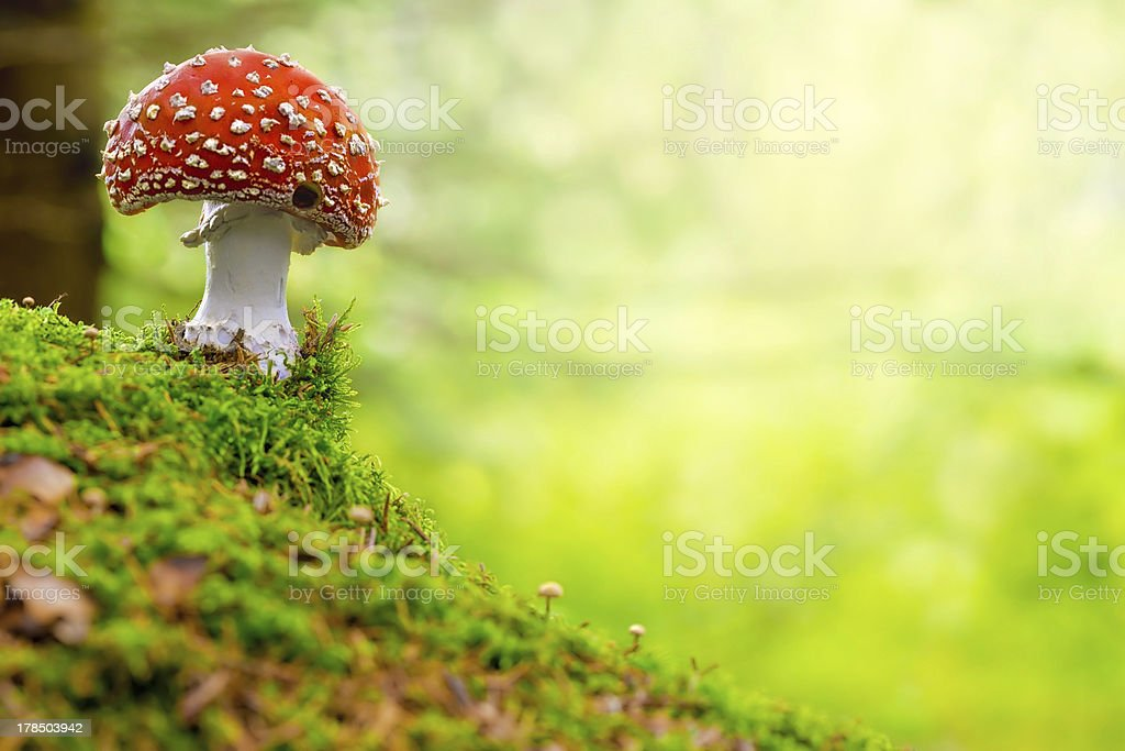 Fly Agaric, red and white poisonous mushroom in the forest stock photo