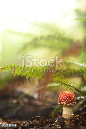 istock Fly Agaric, red and white poisonous mushroom in the forest 500768749