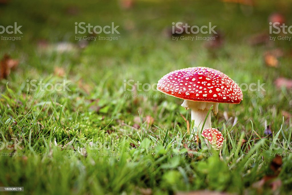 Fly Agaric - Red Toadstool royalty-free stock photo