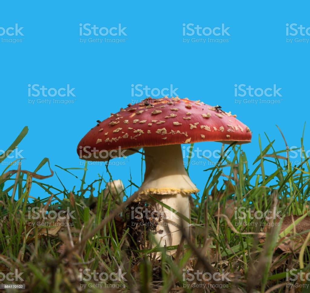 fly amanita mushroom royalty-free stock photo