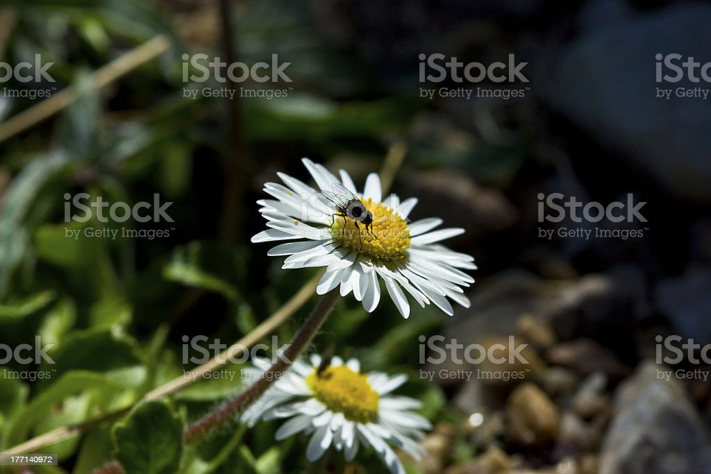 Fly (Diptera) and wildflowers royalty-free stock photo