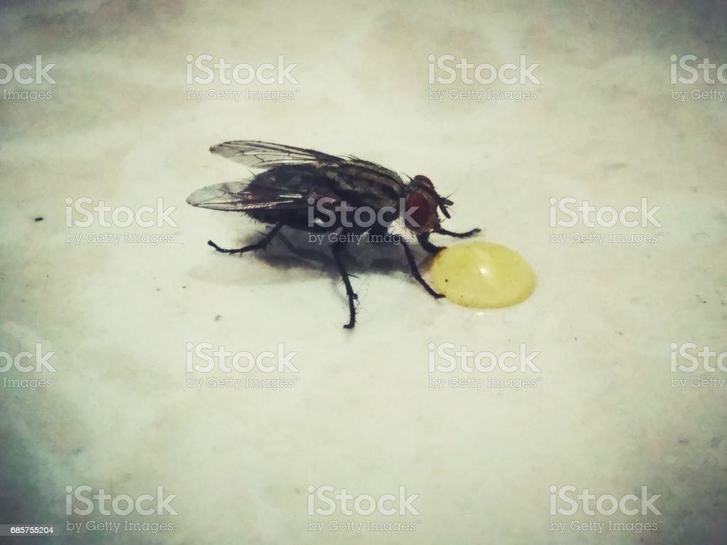 Fly annd honey royaltyfri bildbanksbilder