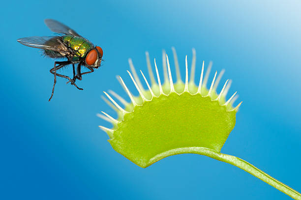Fly being trapped by venus flytrap plant  carnivorous stock pictures, royalty-free photos & images