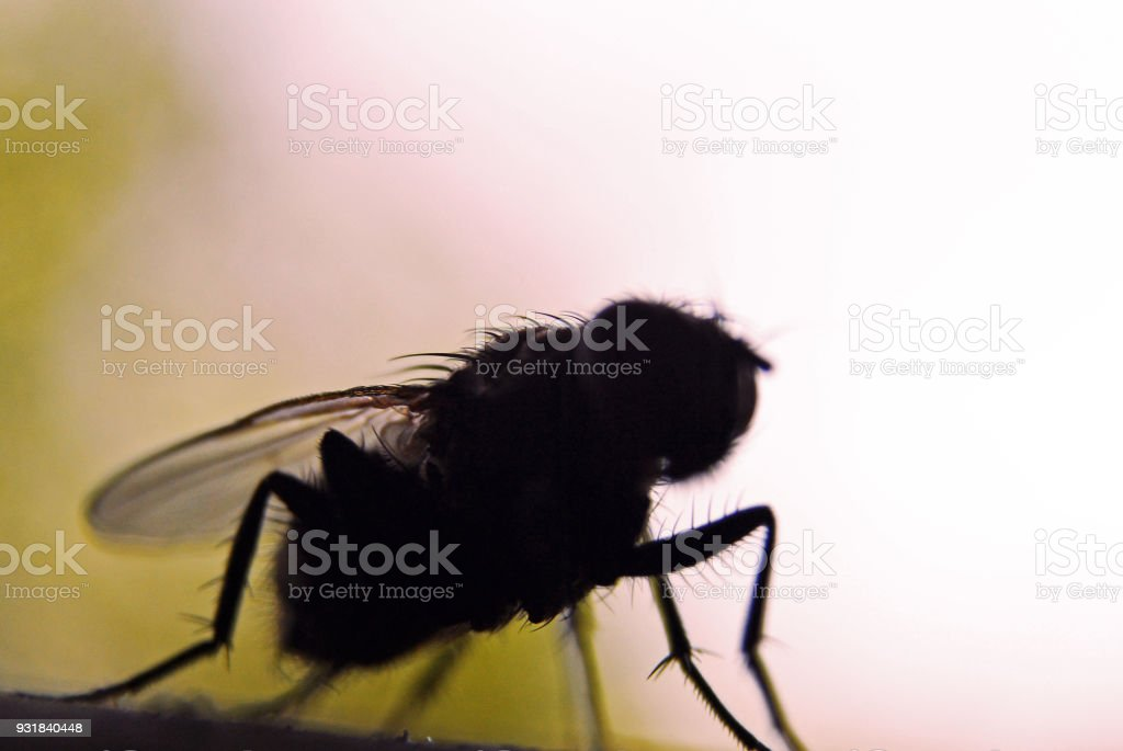 Fly bug insect silhouette, insectophobia or Infection threat concept stock photo