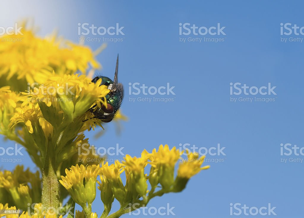 Fly collecting pollen royalty-free stock photo