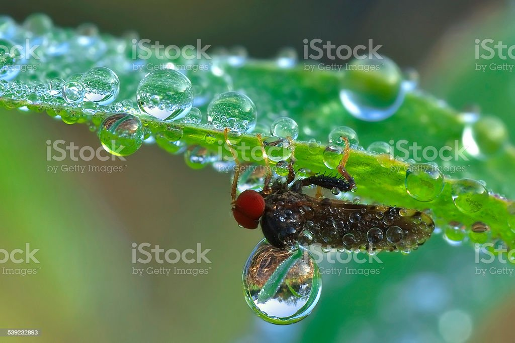 Fly dew royalty-free stock photo