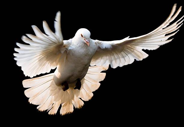 fly dove mit clipping path - pengpeng stock-fotos und bilder