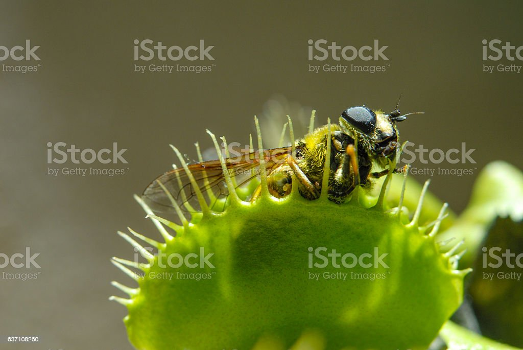 Fly eaten by carnivorous plant stock photo