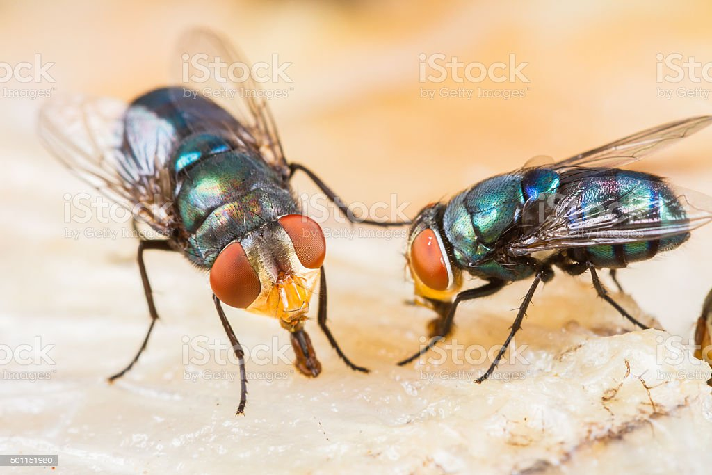 fly eating dried fish stock photo