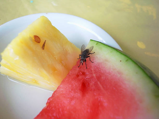 fly eating waterlemon - kelly green stock pictures, royalty-free photos & images