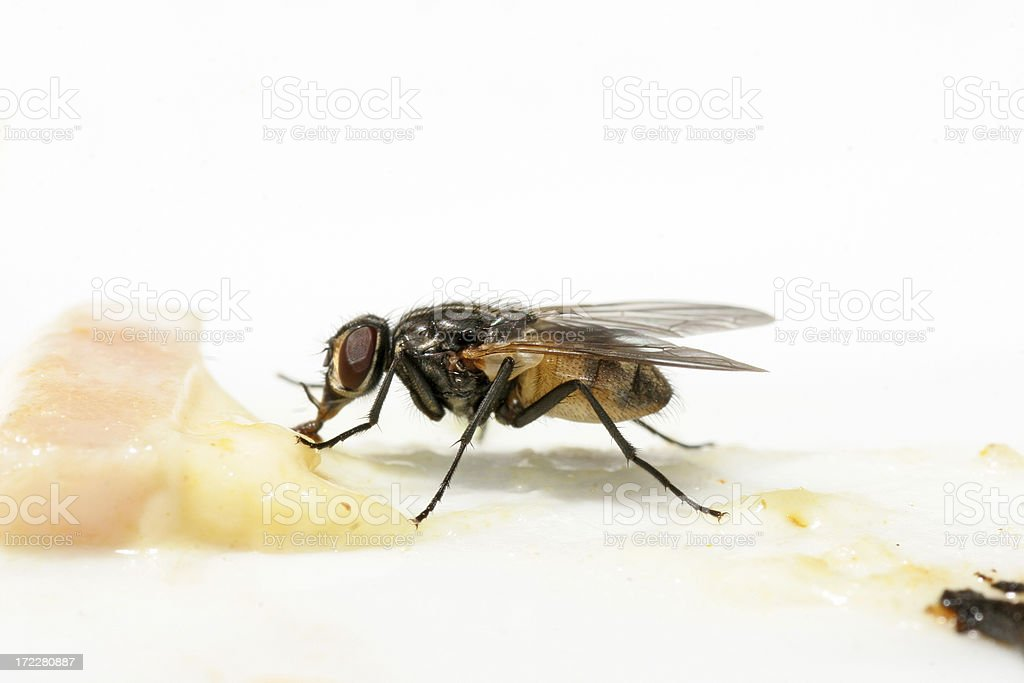 \'A fly feeding from food, isolated on white\'