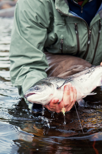 A fly fisherman takes a closer look at a healthy salmon before releasing it back into the river.