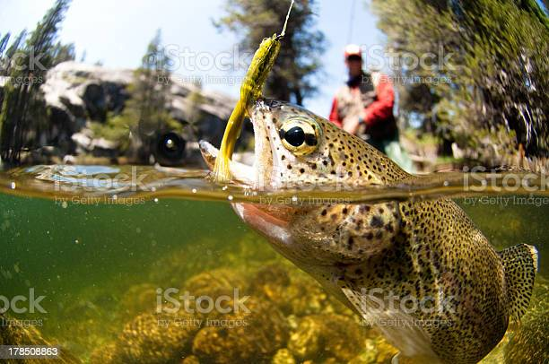 Fly Fishing Fly Fishing for trout. Animal Fin Stock Photo