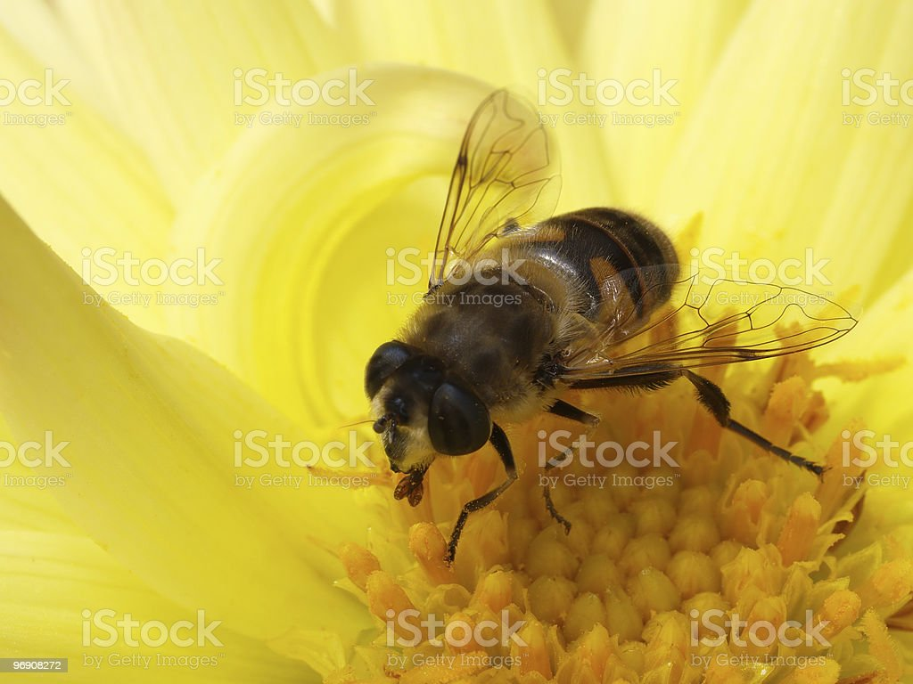 Fly in flower royalty-free stock photo