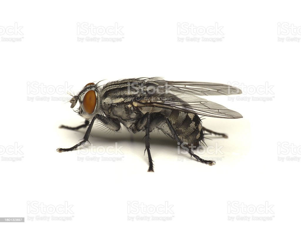 Fly isolated on white stock photo