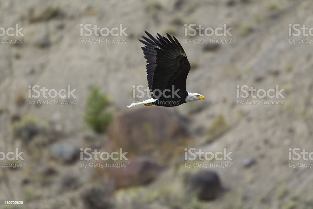 Fly Like An Eagle royalty-free stock photo