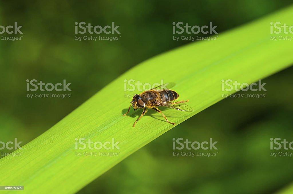 Fly looking like bee stock photo