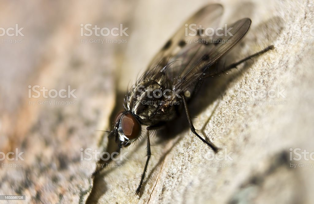 Fly macro details royalty-free stock photo