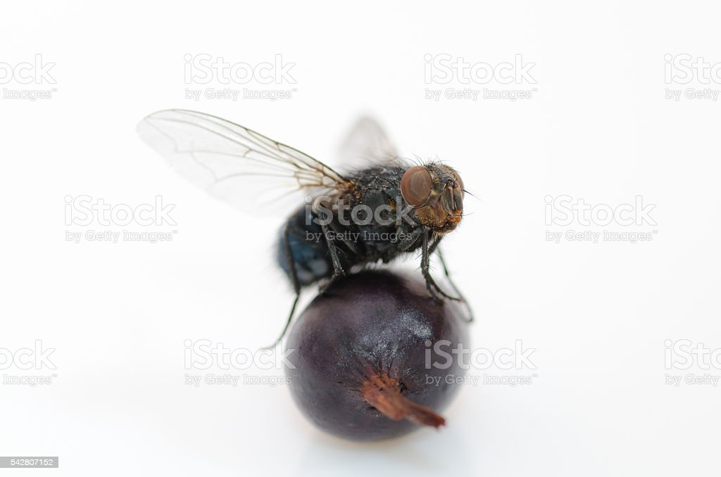 fly on a berry stock photo
