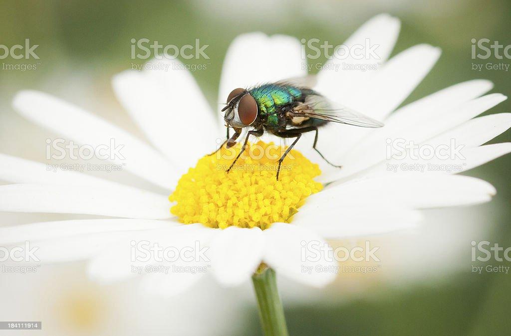 Fly on a daisy stock photo
