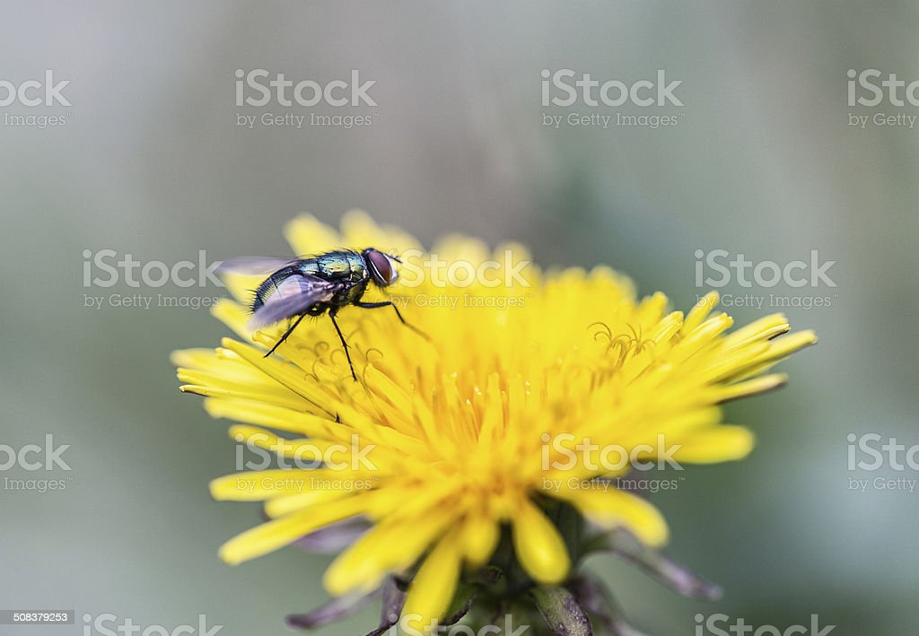 Fly (Calliphora vicina) on a Dandelion Flower stock photo