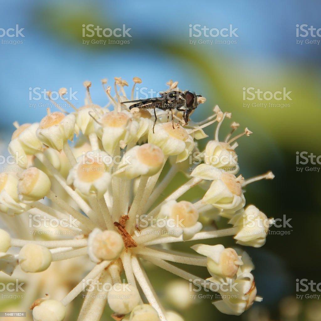 Fly on a Japanese Aralia royalty-free stock photo