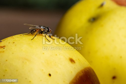 Fly on a rotten Apple