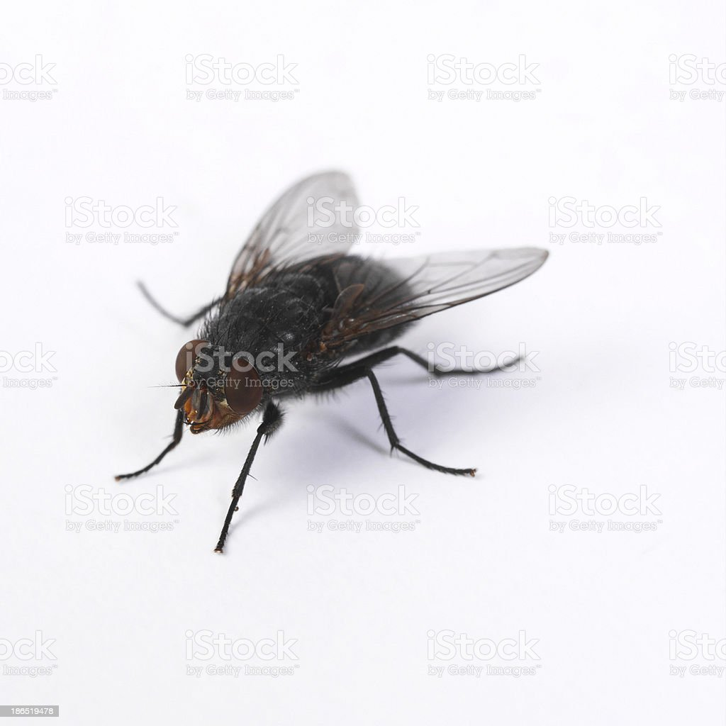 fly on a white royalty-free stock photo