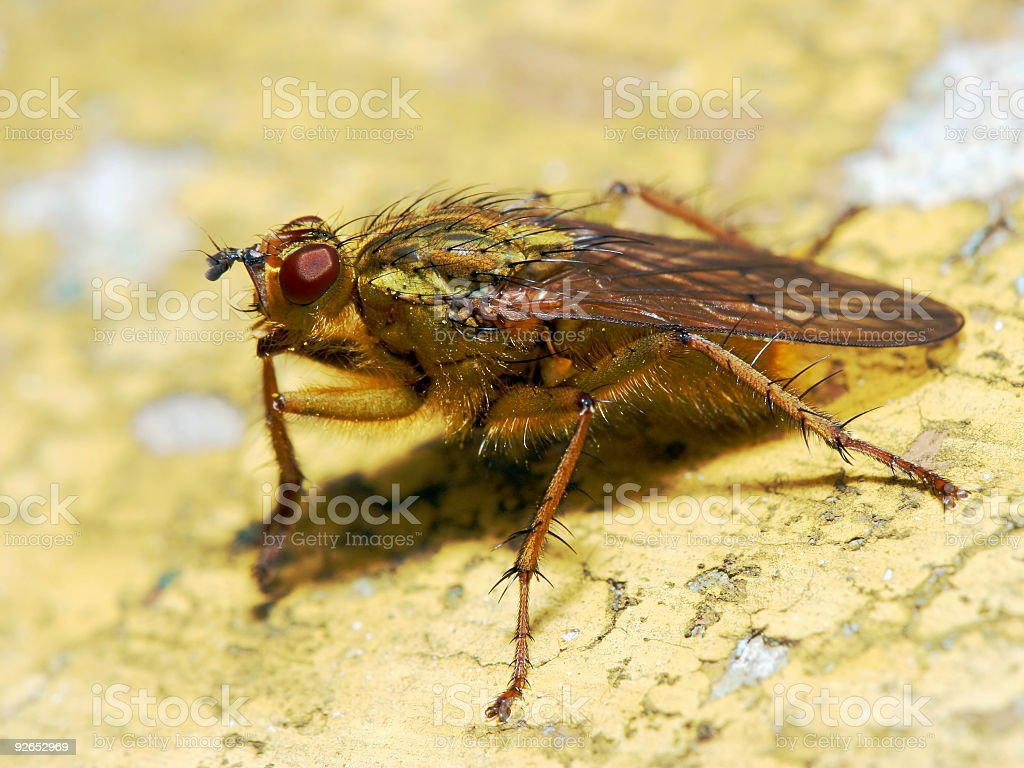 Fly on a yellow wall 2 stock photo