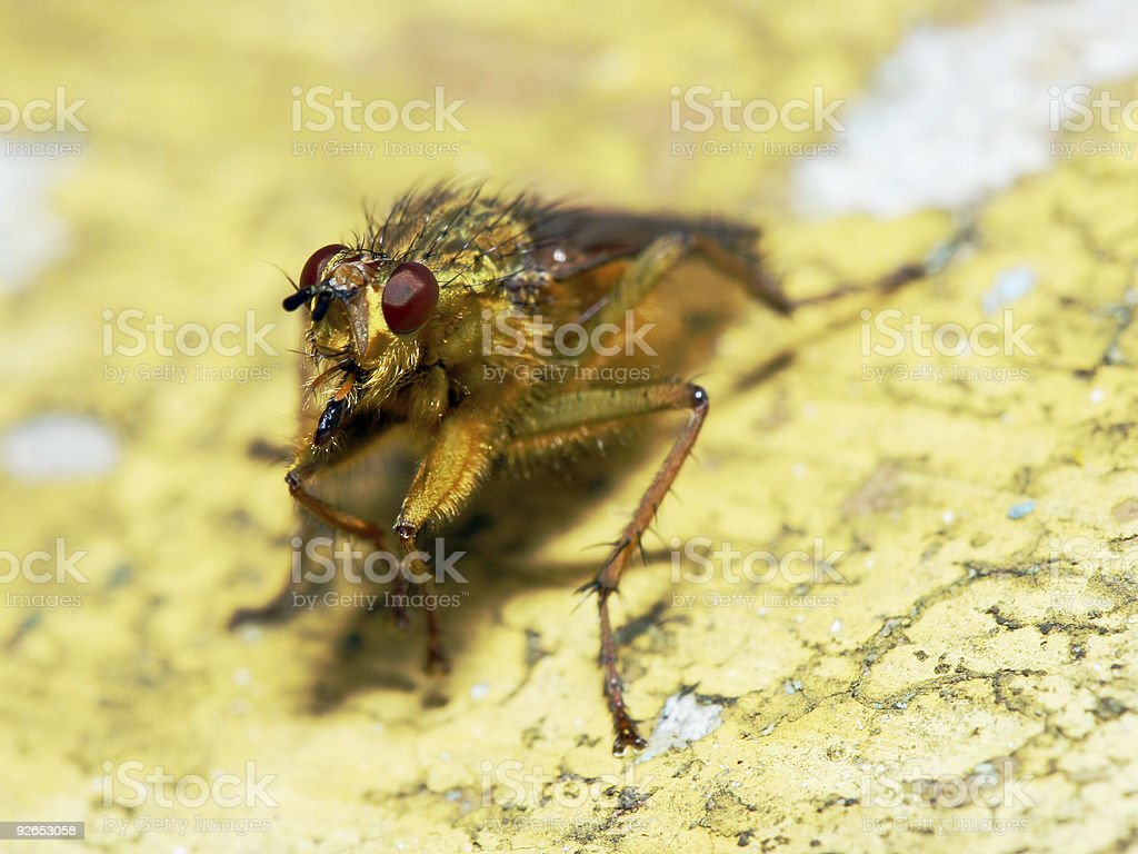 Fly on a yellow wall 3 stock photo