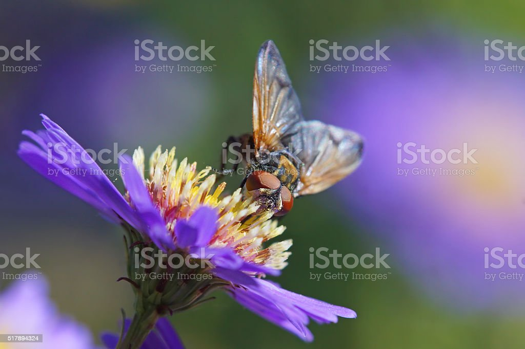 Fly on aster stock photo