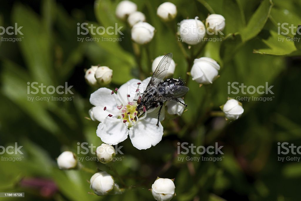 Fly on blossom of Hawthorn royalty-free stock photo