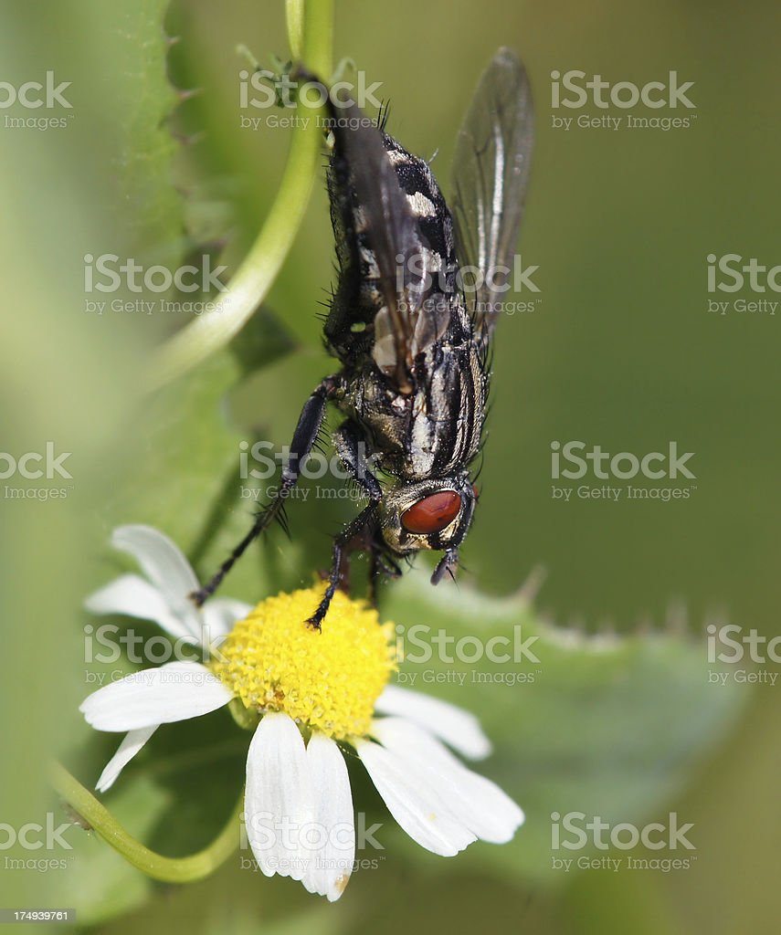 Fly on camomille royalty-free stock photo