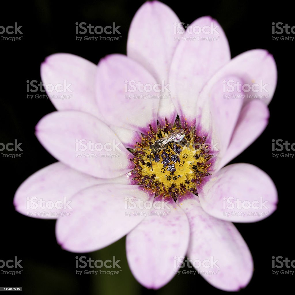 Fly on deformed pink African Daisy flower royalty-free stock photo