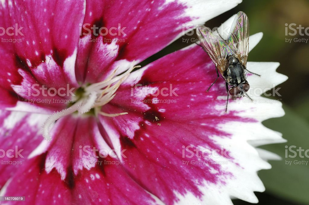 Fly on Dianthus stock photo
