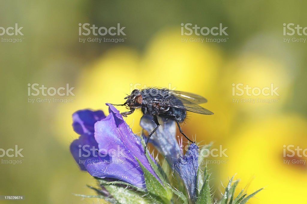 Fly on Echium vulgare royalty-free stock photo