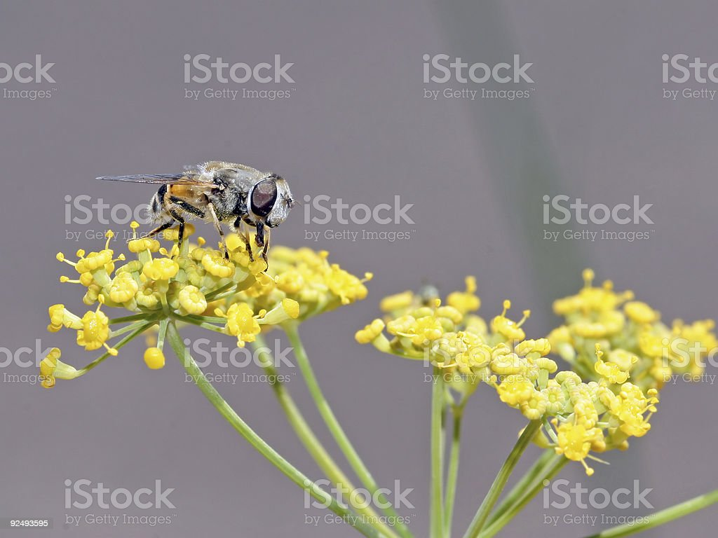 Fly on flower royalty-free stock photo