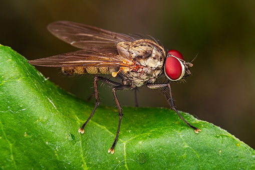Housefly macro on green