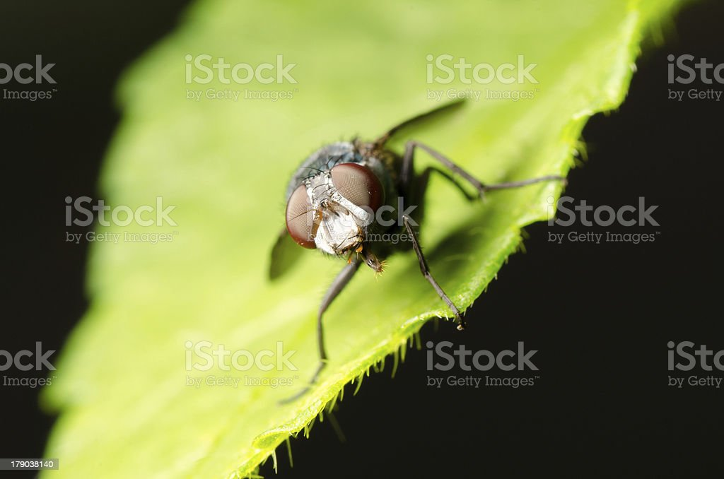 fly on green leaf royalty-free stock photo