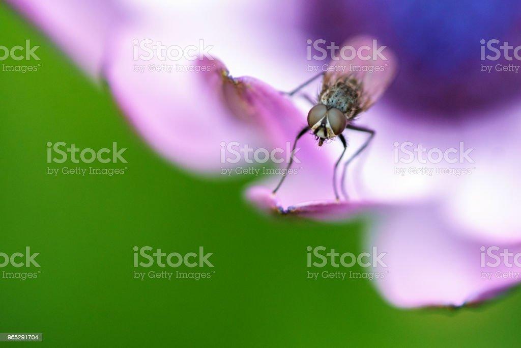 Fly on purple flower petal royalty-free stock photo